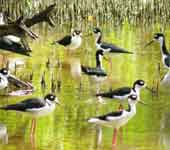 Black-necked-Stilts